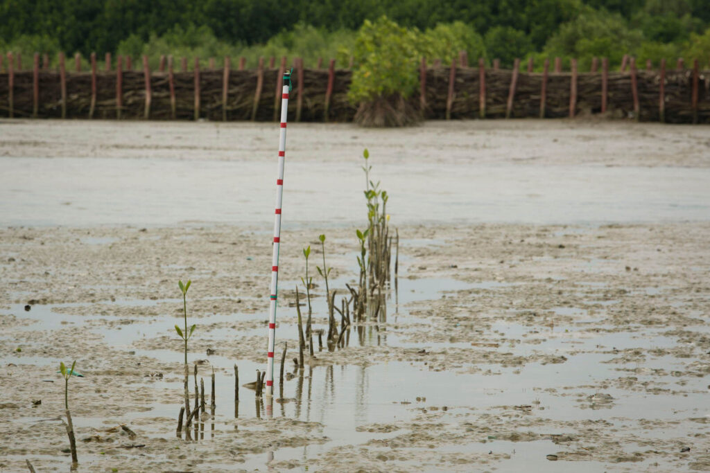 Mangrove natural regrowth in Betahwalang village