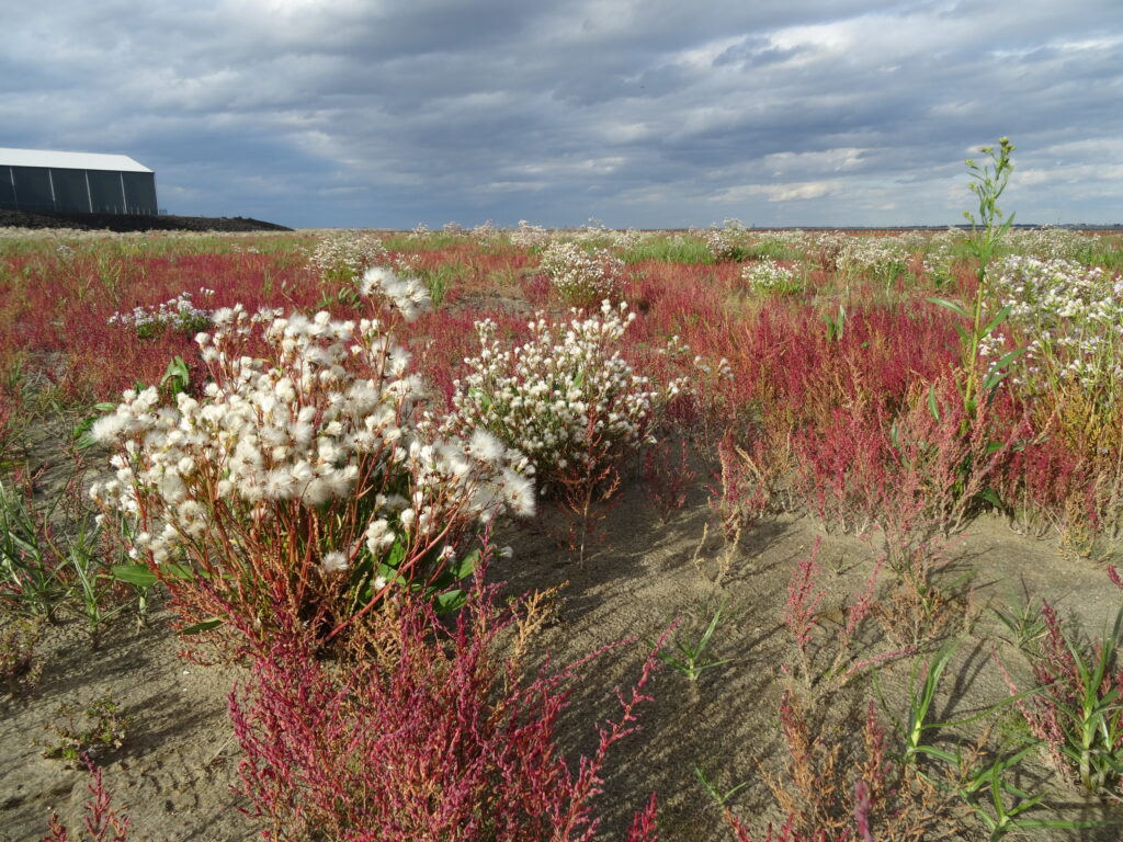 Salt marsh Marconi in bloom